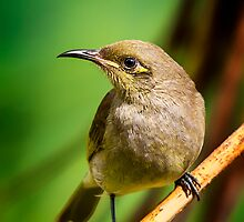 Honeyeater.. by Tracie Louise