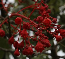 Illawarra Flame Tree I believe. by R-Summers