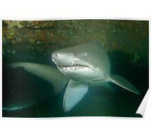 Grey nurse shark - Carcharias taurus Poster