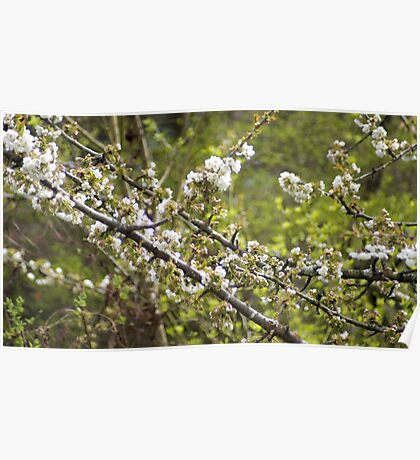 Cherry Tree in Bloom Poster