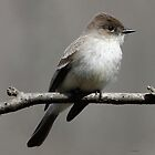 Eastern Phoebe by Dennis Cheeseman