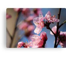 Springtime Peach Blossoms III Canvas Print