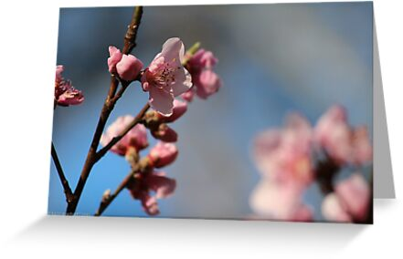 Springtime Peach Blossoms V by karineverhart