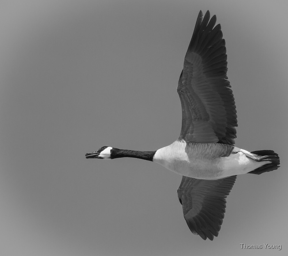 Black and White Canadian Goose  by Thomas Young