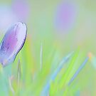 Crocus Garden by pseth