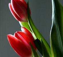 Tulip Power by Carol Bailey White