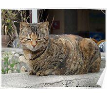 Harmonious Sidesian Cat Poster