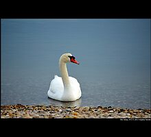 Cygnus Olor - Mute Swan - Mt. Sinai Harbor, New York by © Sophie W. Smith