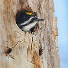 Hole Inspection - Black-backed Woodpecker by Daniel Cadieux