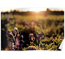 Green lacewing on Texas bluebonnet at sunset Poster