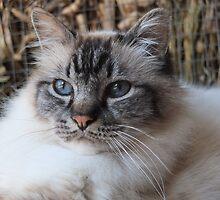 Lord Harrison ~ a seal tabby (lynx) point birman cat by Melissa Stevenson