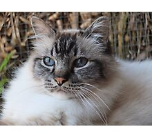 Lord Harrison ~ a seal tabby (lynx) point birman cat Photographic Print