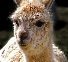 Alpaca by Country  Pursuits