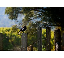 Magpie Morning Photographic Print