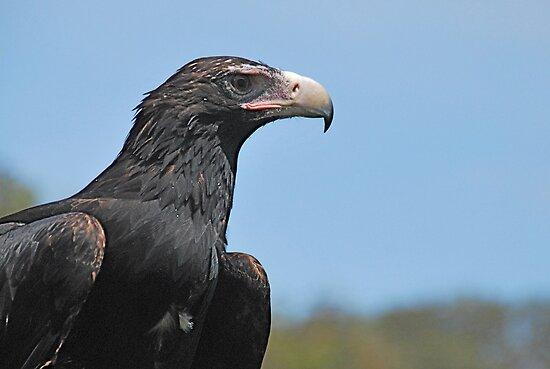 Regal Raptor by pictureit