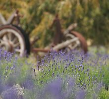 Lovely Lavender by pictureit
