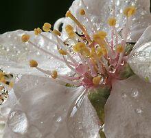Oranamental Plum Blossom by Lynn Gedeon