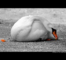 Cygnus Olor - Mute Swan Eating Carrots  by © Sophie W. Smith