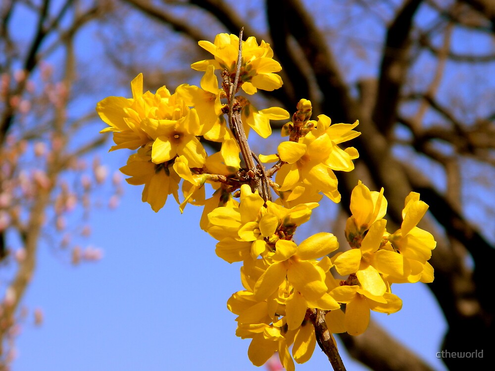 Spring Forsythia - Closeup   ^ by ctheworld