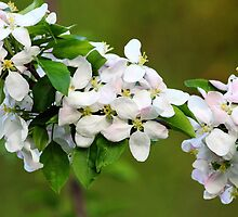 Blushing Apple Blossoms by Debbie Oppermann