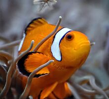 Clownfish by venny