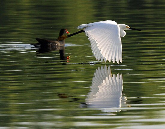 Reflections of a snowy egret in flight ! by jozi1