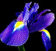 beauty blue iris  by elvira1