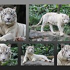 White Tiger Collection #2 by Leanne Allen