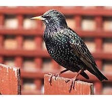 A hungry starling Photographic Print