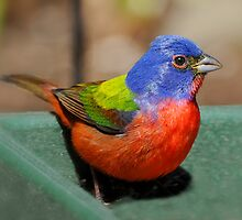 Painted Bunting Arrives by Bonnie T.  Barry