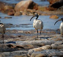 African Sacred Ibis  by Johanna26