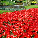 Red sea of tulips by Arie Koene