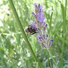 Lavender Honey by sunnydreams
