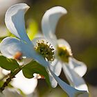 Dogwood by BrianDawson