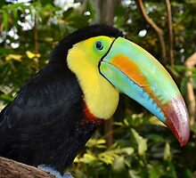 Rainbow Toucan by neil harrison