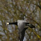 Barnacle goose in flight by Peter Wiggerman