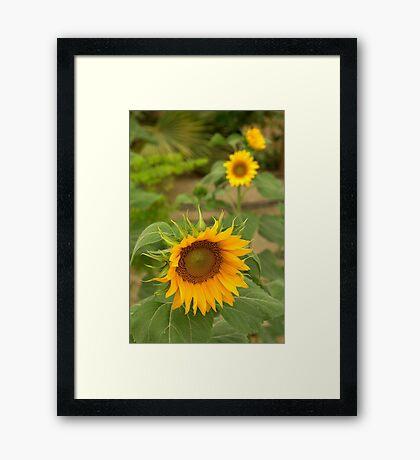 Sunflowers in the sun Framed Print