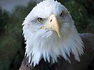 Bald Eagle by Veronica Schultz