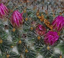 Blooming Cactus Day one by paulbl
