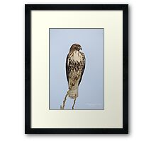 Red Tailed Hawk (Buteo jamaicensis) Framed Print
