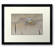 Western Meadowlark (Sturnella neglecta) Framed Print