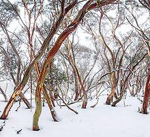 Snow Gum by hangingpixels