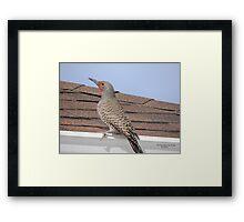 Northern Flicker (Colaptes auratus) Framed Print