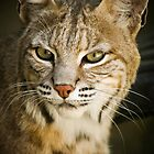 The Bobcat by Stephanie B