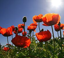 Red Poppies by CharlotteMorse