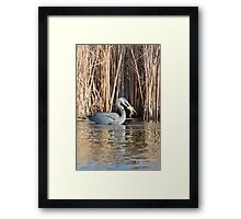 Great Blue Heron (Ardea herodias) Framed Print