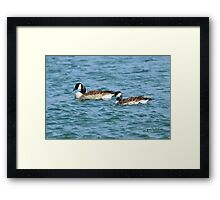 Canada Goose and gosling(Branta canadensis)  Framed Print