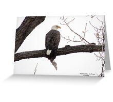Bald Eagle (Haliaeetus leucocephalus) Greeting Card