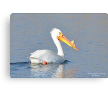 American White Pelican (Pelecanus erythrorhynchos) Canvas Print
