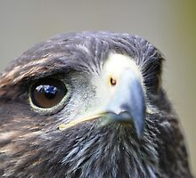 Harris Hawk by Ralph Goldsmith